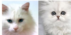 Sering-Dianggap-Sama,-Inilah-Perbedaan-Kucing-Anggora-dan-Persia