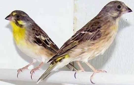 Cara-Merawat-Burung-Blackthroat