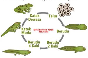 Lengkap-dan-bukan-metamorfosis-definisi-persamaan-contoh